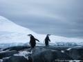 Antarctica Chinstrap Penguins