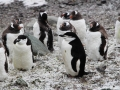 Chinstrap & Gentoo Penguins in Antarctica