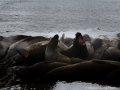 Antarctica Elephant Seals Farting