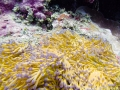 Healthy coral in Fijian waters
