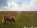A beautiful Icelandic horse grazes under a rare morning blue sky