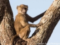 A monkey who escaped into the tree to check us out
