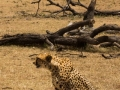 Cheetah mom with her eyes locked on the prey