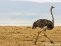 The female ostrich - weird looking creature