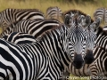 Zebras - wonderful photography subjects