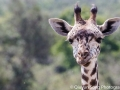 A very curious giraffe