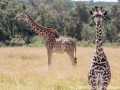 Giraffes - so tall and awkward