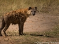 A very bad and surreptitious looking animal - the spotted hyena