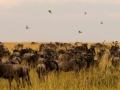 Thousands and thousands of wildebeest on the Mara