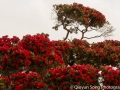 MY FAVORITE TREE: The pohutukawa, the New Zealand Christmas tree!