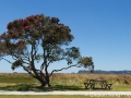 A big pohutukawa tree in bloom at Whitianga