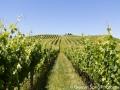 Walking amongst the Gimmlett Gravels vineyards