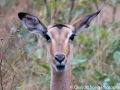 Close up of the common female impala, a very pretty animal