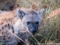 The brown spotted hyena, crouched in the bushes waiting for the moment a leopard's parked kill drops from the tree