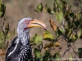 The red-billed hornbill - I'm told this is the bird Zazu from The Lion King was modeled on