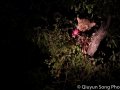 Night falls - the leopard who was sleeping in the bush climbed back into the tree to devour the rest of its kill