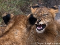Lion cubs fighting and playing