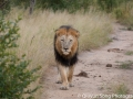 The unwelcome intruder.. An adult male lion which threatens to reduce food for everyone