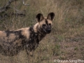 The rare African wild dog - they move so fast, it's almost impossible to get a good shot of them!