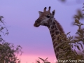 My favorite shot of a giraffe so far, framed by the beautiful color of the sky at dusk