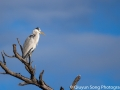 The grey heron, perched high on top of a tree