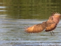 The hamerkop. My favorite thing to photograph in the African safari.. Birds