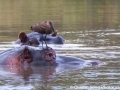 The hamerkop, stepping its little feet audaciously close to the hippo's eye
