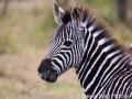 A very chill zebra