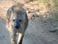 Lone hyena running along the tracks