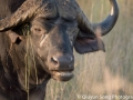 Gangsta. The cape buffalo - the only one of the big five you do NOT ever drive or park close to