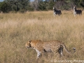 Zebras look on, as a disappointed leopard predator walks away