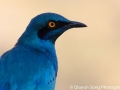 Close up of the Cape Glossy Starling - I'm very proud of this shot as it was hard to get!