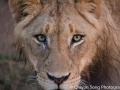 Portrait of a young male lion
