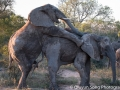 Humping elephants.. Apparently the first time our tracker has seen it in 10 years of tracking