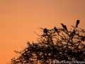 Birds on a baobab tree at sunset
