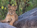 A groggy lion cub at dawn, waiting for its family to finish drinking at the waterhole