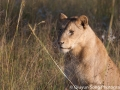 The morning light catches a pretty lioness's eye, on our final morning game drive