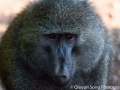 A baboon's intense look