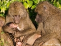 A very heartwarming scene where the whole baboon family huddles together with the newborn...