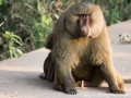 ...As a very horny baboon looks on