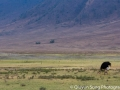A lone male ostrich grazing against the dramatic Ngorongoro Crater landscape