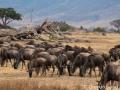 Resident wildebeest at the Ngorongoro Crater