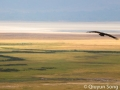 A vulture soars in a morning thermal above the Ngorongoro Crater