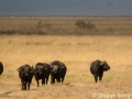 The cape buffalo gang