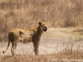 Lioness after a failed hunt of a warthog