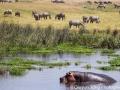 Hippos and zebras