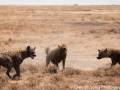 Fighting hyenas