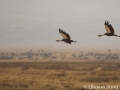 Black crowned cranes take flight