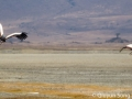 Black crowned cranes around the salt lake in the Ngorongoro Crater