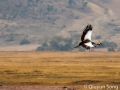 Beautiful black crowned crane in flight